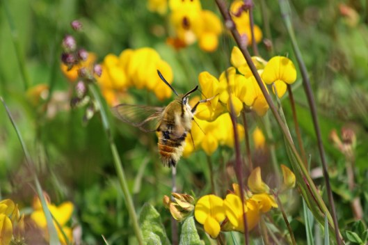 190527 narrow-bordered bee hawk-moth (1)