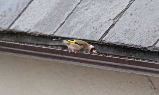 190529 goldfinch (1)