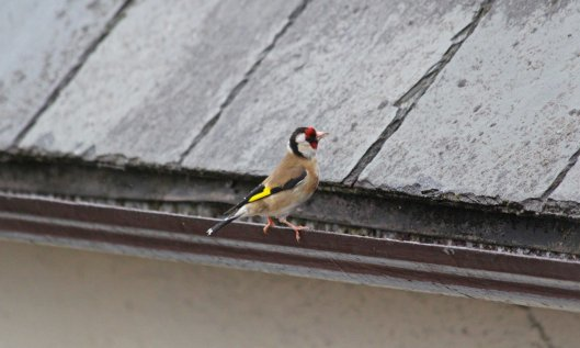 190529 goldfinch (2)