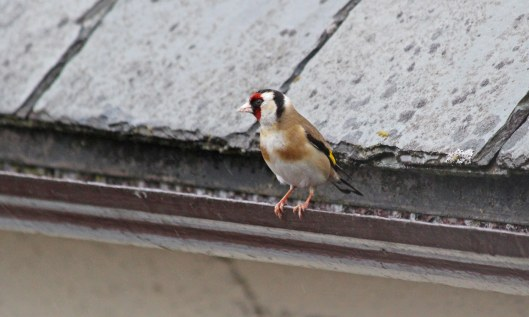 190529 goldfinch (3)