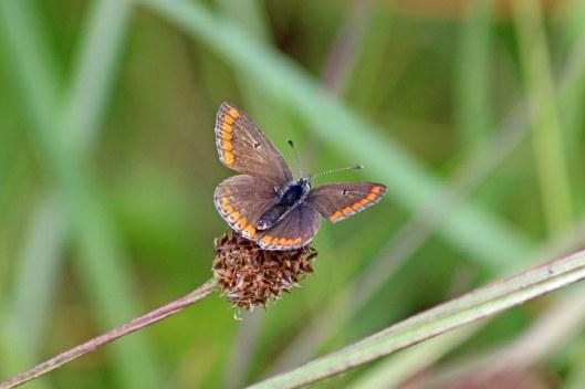 190531 brown argus (2)