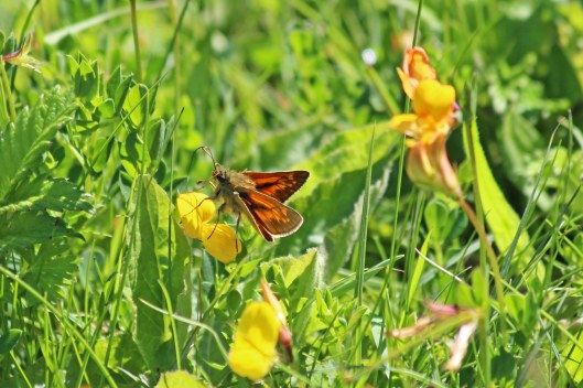 190531 large skipper (1)