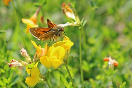 190531 large skipper (2)