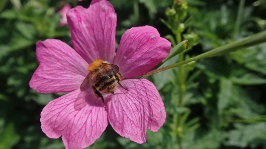 190602 geranium and bee
