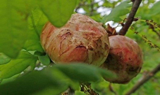 190604 oak apples (1)
