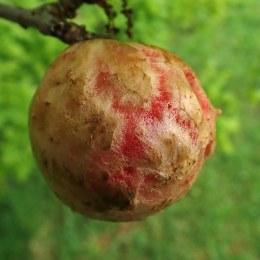 190604 oak apples (3)