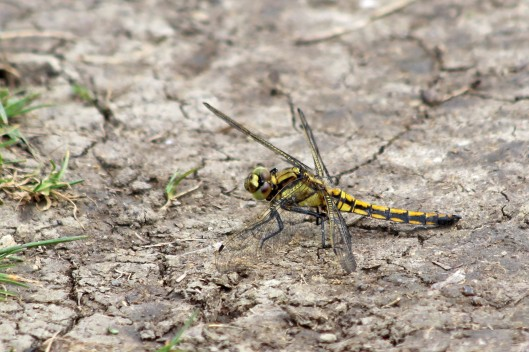 190609 Black-tailed skimmer