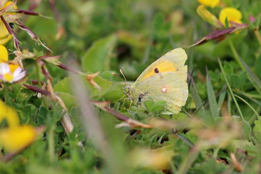 190609 Clouded yellow