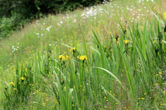 190613 yellow iris (2)