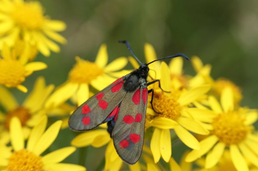 190614 Six-spot Burnet moth