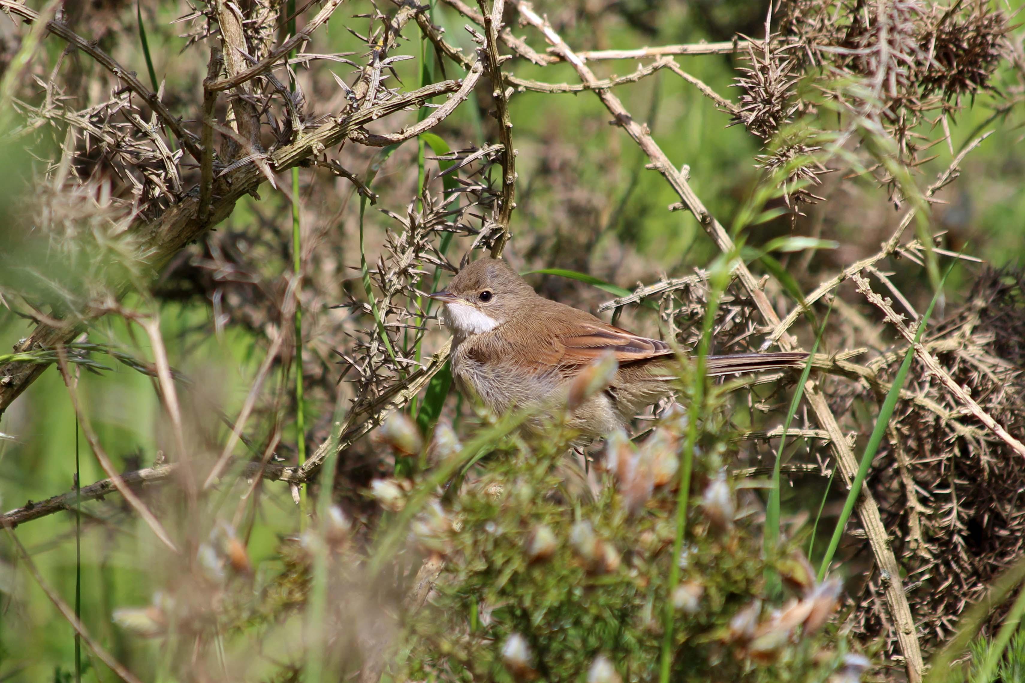 190615 whitethroat fledgling (1)