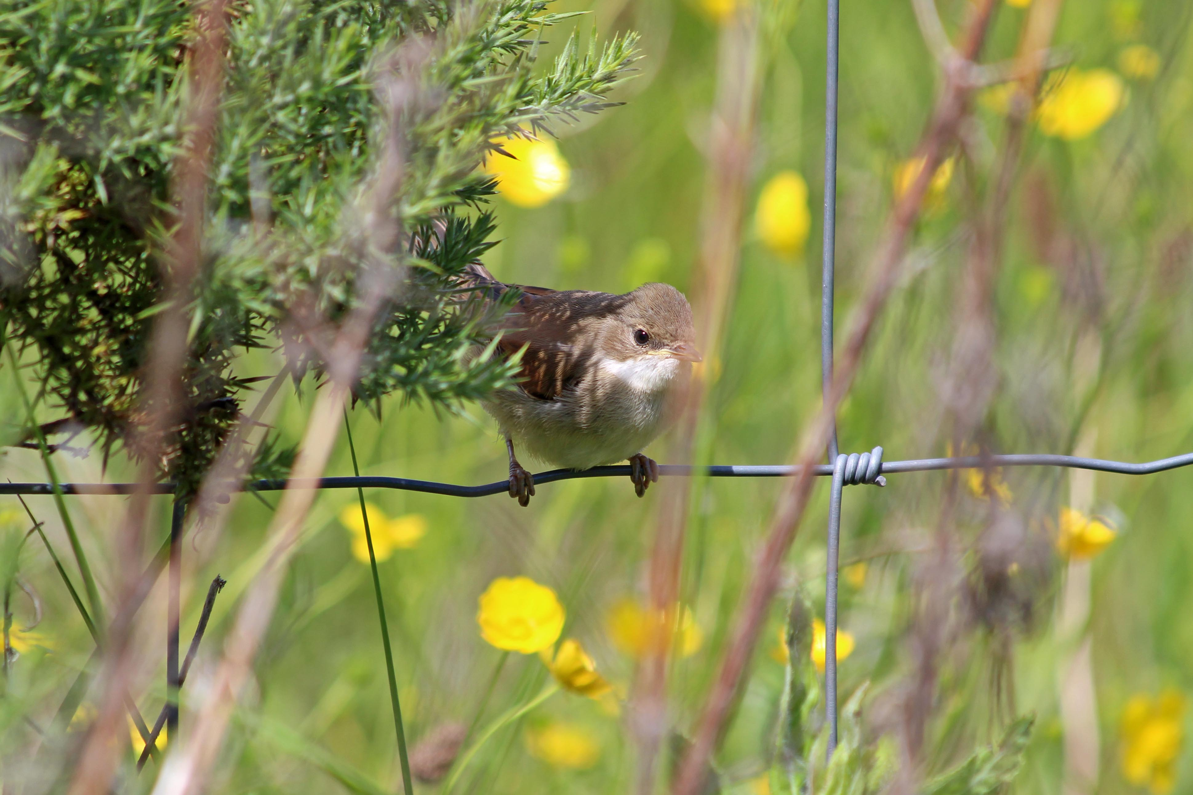 190615 whitethroat fledgling (2)