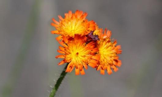 190622 orange hawkweed (1)