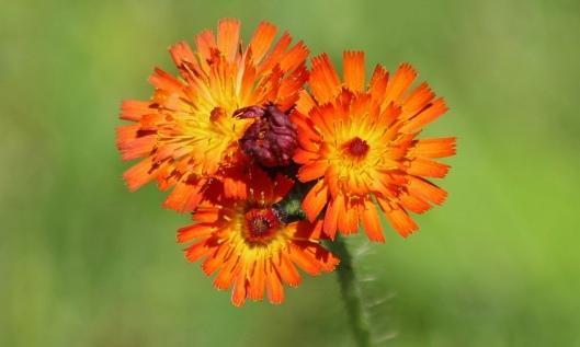 190622 orange hawkweed (2)