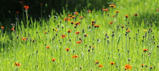 190622 orange hawkweed (3)