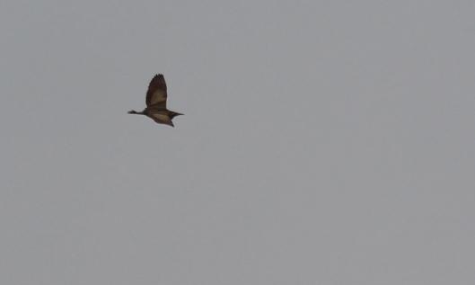 190624 bittern flypast