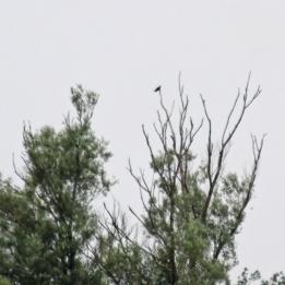 190624 cuckoo