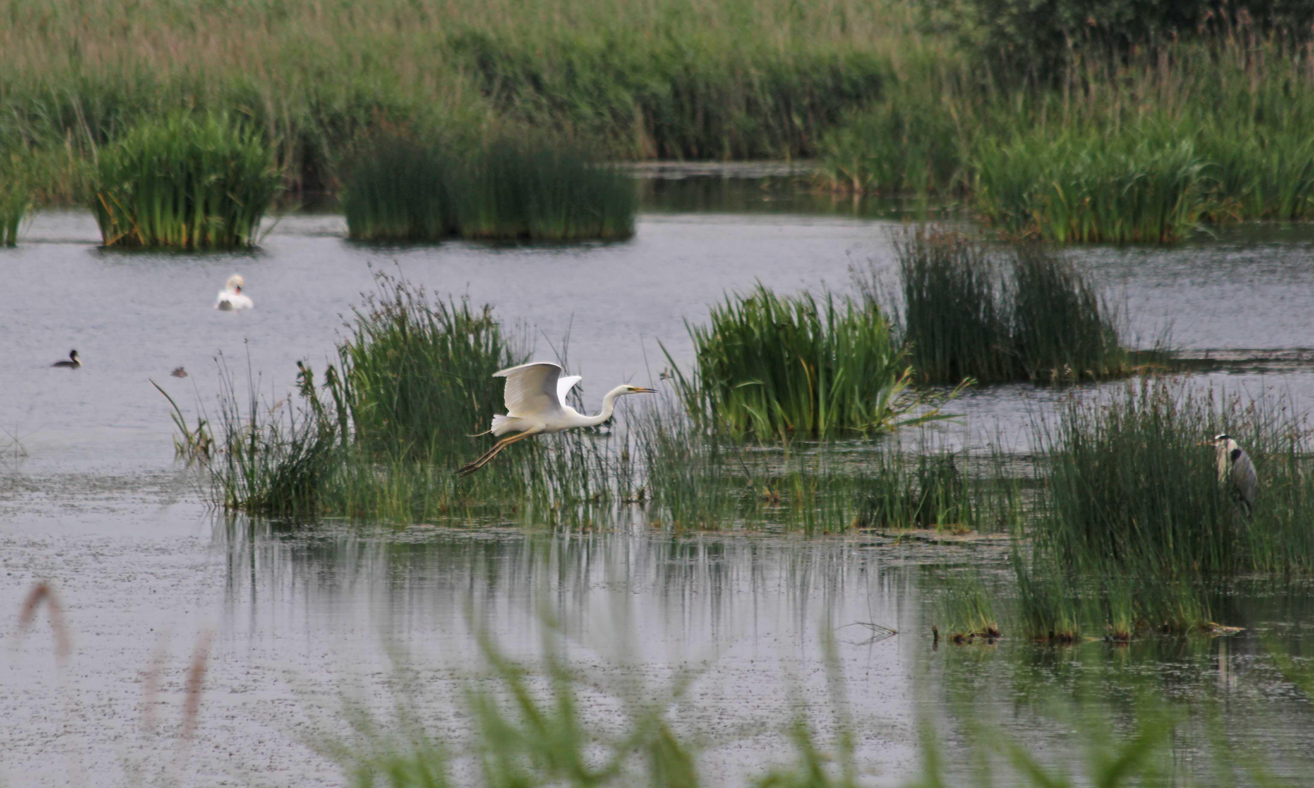 190624 great white egret