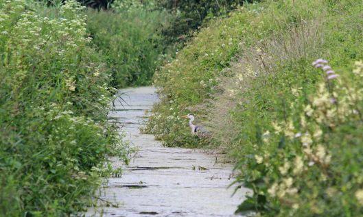 190624 heron in a reen