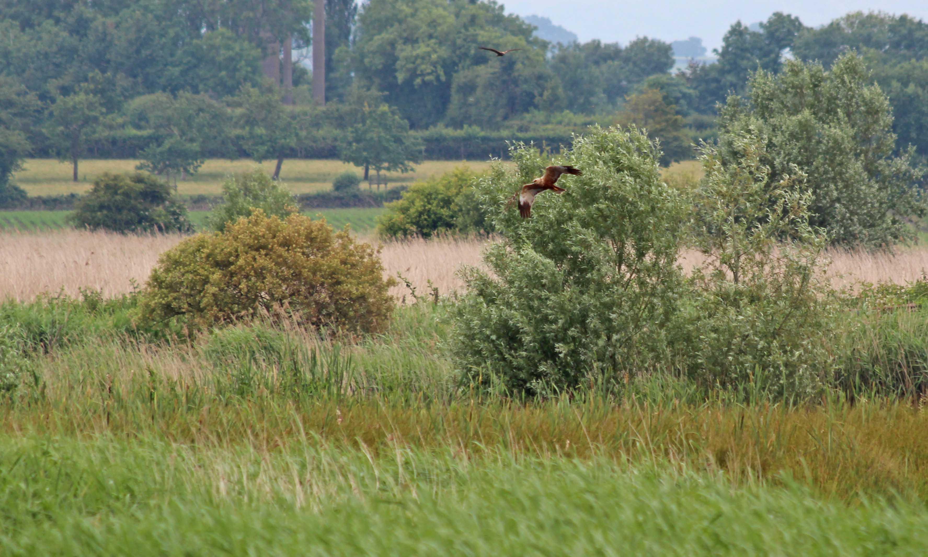 190624 marsh harriers