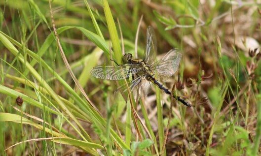 190626 black-tailed skimmers (1)