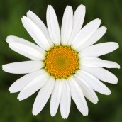 190627 ox-eye daisy (b)