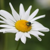 190627 ox-eye daisy (d)