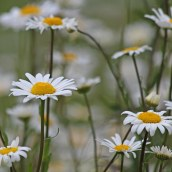 190627 ox-eye daisy (g)