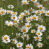 190627 ox-eye daisy (i)
