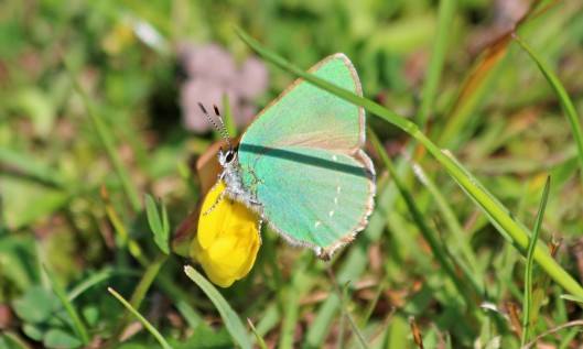 190628 green hairstreak
