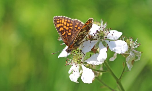 190628 heath fritillary (2)