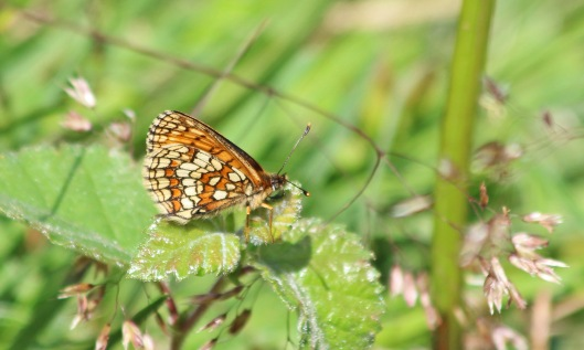 190628 heath fritillary (3)