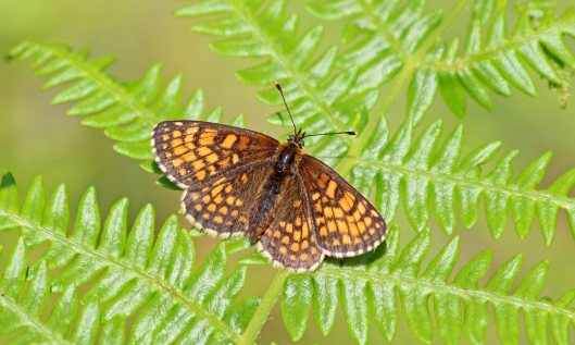 190628 heath fritillary (4)
