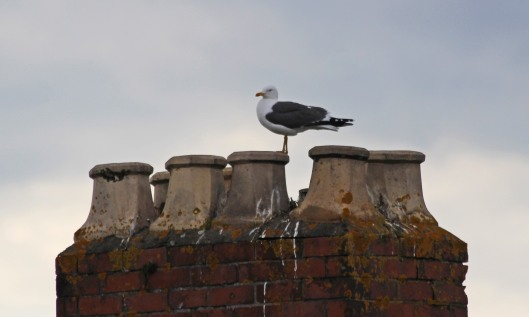 190703 lesser black-backed gull (1)