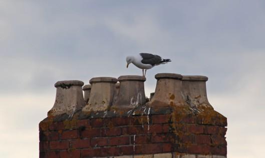 190703 lesser black-backed gull (2)