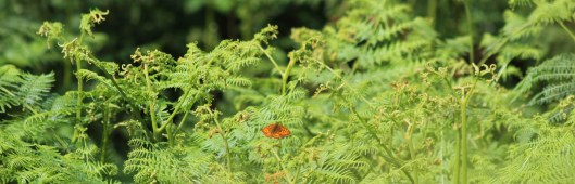 190706 High brown fritillary (1)