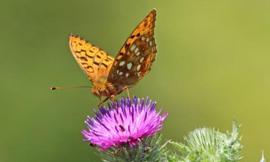 190706 High brown fritillary (3)