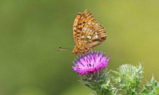 190706 High brown fritillary (4)