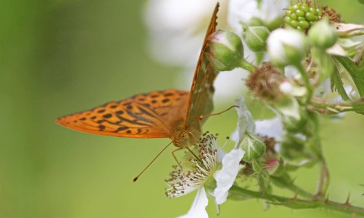 190707 silver-washed fritillary (1)