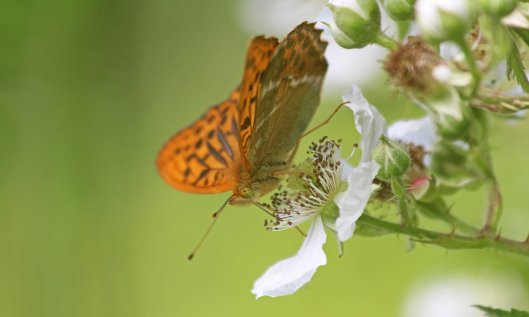 190707 silver-washed fritillary (2)