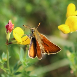 190708 male Small skipper
