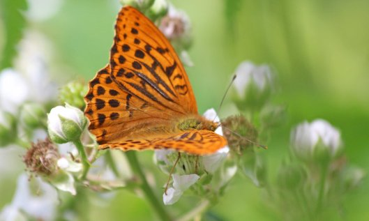 190708 silver-washed fritillary