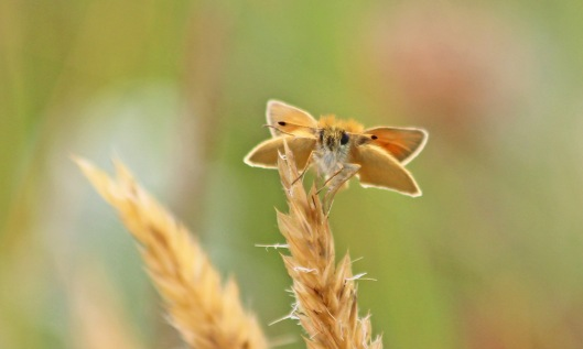 190711 essex skipper (2)