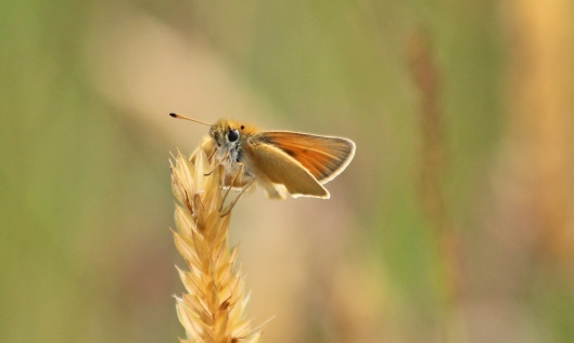 190711 essex skipper (3)