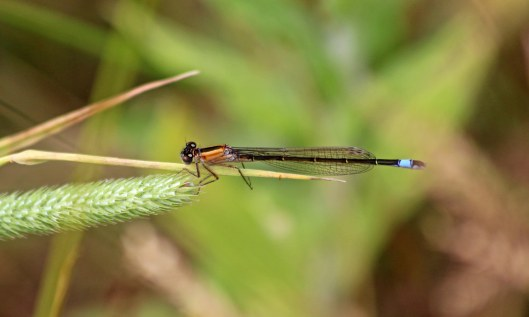 190715 blue-tailed damselfly rufescens