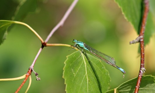 190715 blue-tailed damselfly