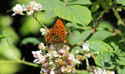 190716 silver-washed fritillary