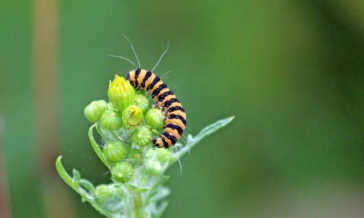 190717 cinnabar caterpillars (4)