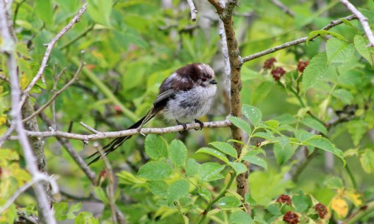 190719 long-tailed tit (1)