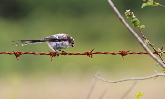 190719 long-tailed tit (2)